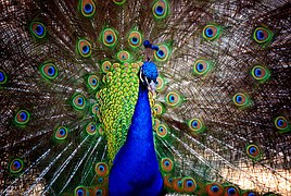 peacock-1434525__180
